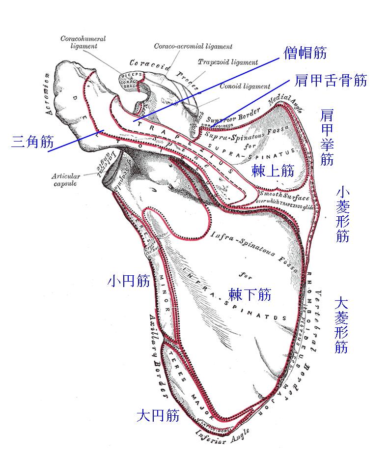 肩甲骨の筋付着部