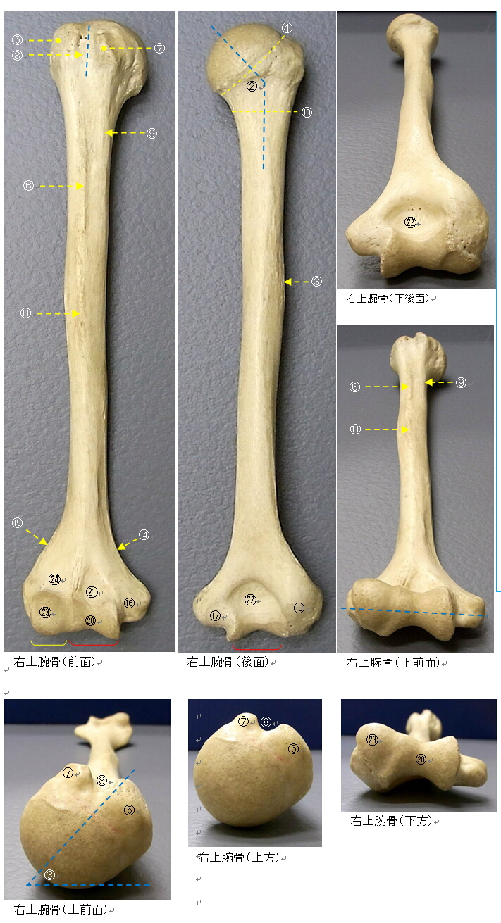 anatomy of humerus 上腕骨につ...