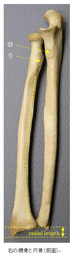 橈骨と尺骨