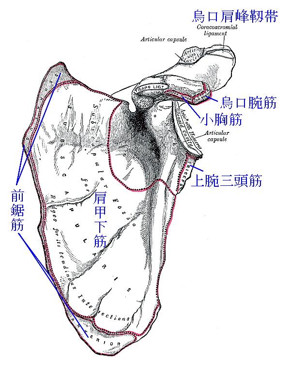 肩甲骨の筋付着部2